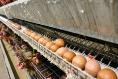 Multilevel production line conveyor production line of chicken eggs of a poultry farm. Blur some of chicken Multilevel production line conveyor production line royalty free stock photo