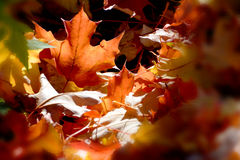 Blur sun ray autumn maple leaf Royalty Free Stock Images