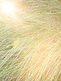 Blur of tall grass with len flare effect, out of focus image Royalty Free Stock Photography