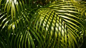 Blur tropical green palm leaf with sun light, abstract natural background with bokeh. Defocused Lush Foliage, veines. Striped exotic fresh juicy leaves in stock video footage