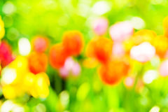 Blur tulips in garden. Stock Images