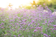 Blur Verbena bonariensis flower with light burst effet use to na Royalty Free Stock Images