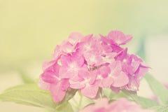 Blur Vintage Style Hydrangea for Background. Blur Vintage Style Pink Hydrangea for Background Royalty Free Stock Photos