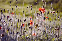 Blur wild poppies  nature background Stock Photography