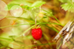 Blur Wood strawberries and green leaves closeup Royalty Free Stock Photos