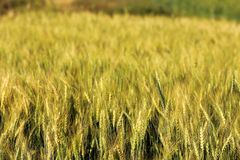 Blur yellow Barley field Stock Images