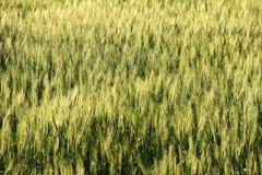 Blur yellow Barley field Royalty Free Stock Photography