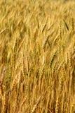 Blur yellow Barley field Royalty Free Stock Photos