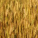 Blur yellow Barley field Stock Photo