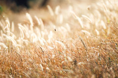 The blur yellow grass flower in warm light Royalty Free Stock Image