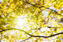 Blur of yellow leaves Stock Images
