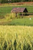Blur yellow  young Barley field start grain growth season Royalty Free Stock Image