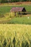 Blur yellow  young Barley field start grain growth season Royalty Free Stock Image