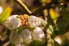Blurberry blomninggrupp Arkivfoto