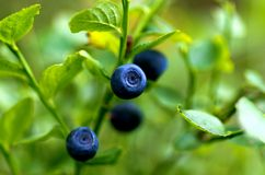Blurberry Royalty Free Stock Photography