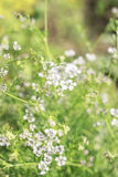 Blured background with white flowers and grass. Blured background with delicate white flowers and grass Royalty Free Stock Image