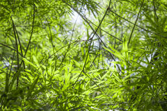 Blured, bamboo green leafs background. Sunlight above stock photography