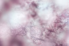 Spring blooming apple tree blurred detail. Blured detail of blooming trees in spring. Beauty pink abstract background Royalty Free Stock Photo