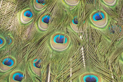 Blured peacock spread its feather texture. Royalty Free Stock Photos