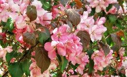 Bluring变粉红色在春天的苹果花与绿色叶子 免版税库存照片