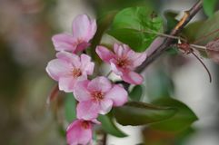 Bluring pink apple flowers in spring time with green leaves. Blossoming of apple flowers in spring time with green leaves, macro, blur stock photography