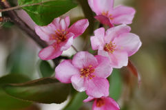 Bluring pink apple flowers in spring time with green leaves. Blossoming of apple flowers in spring time with green leaves, macro, blur stock images