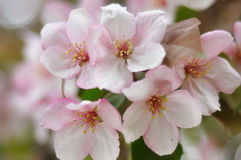 Bluring pink apple flowers in spring time with green leaves. Blossoming of apple flowers in spring time with green leaves, macro, blur royalty free stock photos