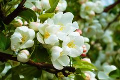 Bluring white apple flowers in spring time with green leaves. Blossoming of apple flowers in spring time with green leaves, macro, blur royalty free stock image