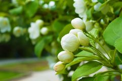 Bluring white apple flowers in spring time with green leaves. Blossoming of apple flowers in spring time with green leaves, macro, blur stock photo