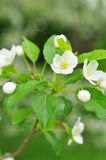 Bluring white apple flowers in spring time with green leaves Stock Photo