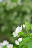 Bluring white apple flowers in spring time with green leaves Royalty Free Stock Photography