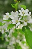 Bluring white apple flowers in spring time with green leaves Royalty Free Stock Image