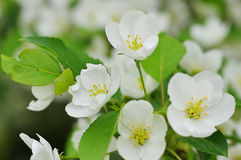 Bluring white apple flowers in spring time with green leaves Royalty Free Stock Photos