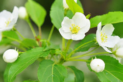 Bluring white apple flowers in spring time with green leaves Stock Photos