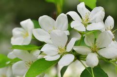 Bluring white apple flowers in spring time with green leaves. Blossoming of apple flowers in spring time with green leaves, macro, blur stock photos