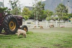 Blurr-Schafe, die Gras im Bauernhof nahe tracktor Weinlesefilter essen lizenzfreie stockfotos