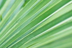 Blurred Abstract Botanical Background Palm Tree Striped Leaf with Geometrical Pattern. Natural Soft Greenery Color. Background Royalty Free Stock Image