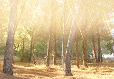 Blurred abstract photo of light burst among trees and glitter bokeh lights. filtered image and textured. Royalty Free Stock Images