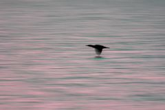 Blurred aesthetic nature background image of aquatic sea bird at Royalty Free Stock Images