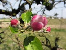 Blurred apple flower closed buds in spring . Tuscany, Italy Royalty Free Stock Photos