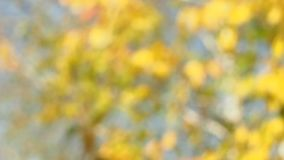 Blurred autumn background. Tree with yellow leaves stock footage