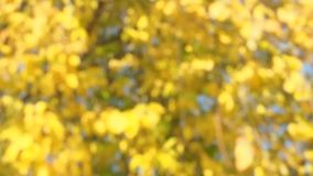 Blurred autumn background. Tree with yellow leaves in sunny day stock footage