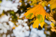 Blurred autumn leaves in the sun, abstract background, bokeh, authoring processing, selective focus.  Stock Image