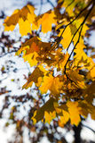 Blurred autumn leaves in the sun, abstract background, bokeh, authoring processing, selective focus.  Royalty Free Stock Photography