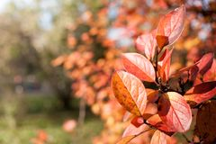 Blurred autumn forest with selective focus on bright orange leaves in the foreground. Blurred background of autumn forest with selective focus on bright orange Royalty Free Stock Photography