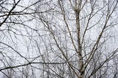 Blurred background of bare branches of birch Royalty Free Stock Images