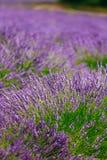 Blurred background of Blooming Purple Lavender Flowers Field in