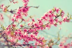 Blurred background. Blooming tree in spring with pink flowers. Branches with beautiful pink flowers Peach against the blue sky. Selective Focus. Peach blossom in Royalty Free Stock Photography