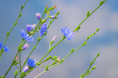 Blurred background blue wildflowers. Blue wildflowers on a blurred blue background Royalty Free Stock Photo