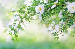 Blurred background with  branch of blossoming roses Stock Photos